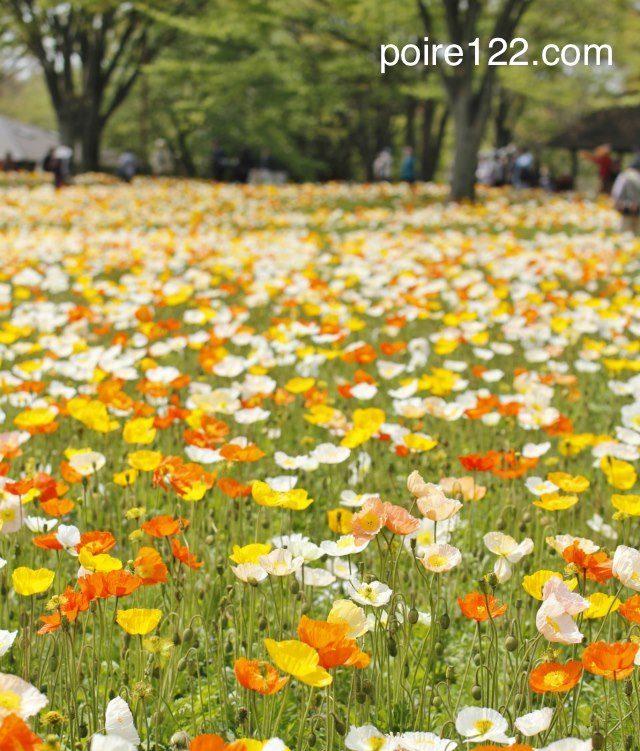 昭和記念公園のアイスランドポピーの花畑