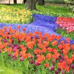 昭和記念公園のカラフルなチューリップ畑