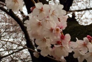 新宿御苑の桜のアップ