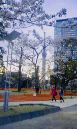 錦糸公園お花見
