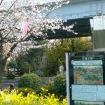 隅田公園の桜まつりとライトアップ!見所は菜の花とのコラボ!