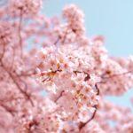 深北緑地公園の桜の見頃と穴場スポット・混雑状況!子連れにぴったり