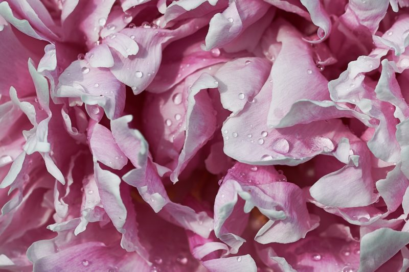カーネーションの花びらが白くなるのはなぜ?病気?対策は