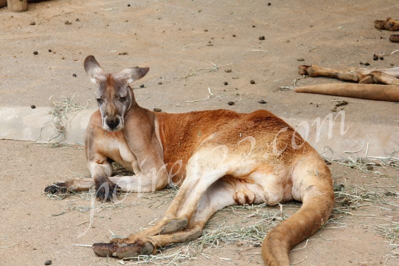 多摩動物公園のカンガルー