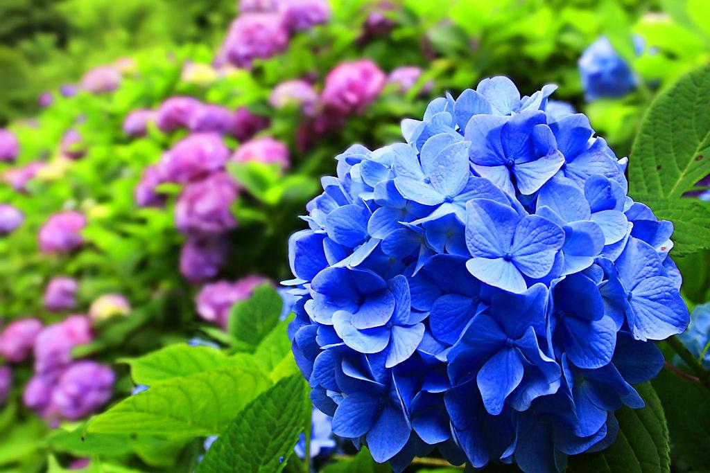 【夢占い】紫陽花(あじさい)の夢の意味は?